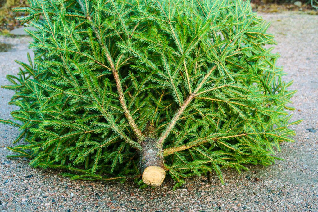 Vinkki: Näin joulukuusi pysyy vihreänä joulun yli