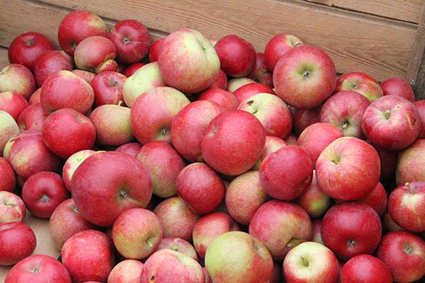 Omenapäivää vietetään Söderlångvik Gårdissa