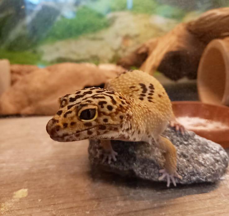 Leopardgeckon Roosa Bild 5_artikel
